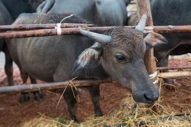 Exploração agrícola nativa tailandesa do búfalo de água no sul de tailândia.