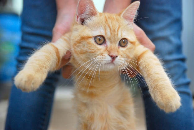 Expressão confusa do gato vermelho bonito