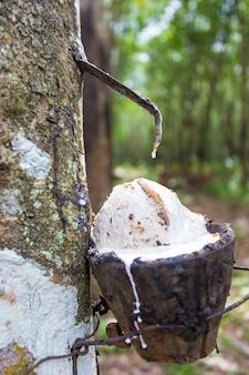 Extração de borracha da seringueira por plantadores no sul da tailândia, eles coletam látex