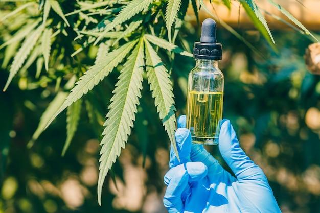 Extrato de óleo de cânhamo de botões de cannabis sativa ou maconha para tratamento médico.