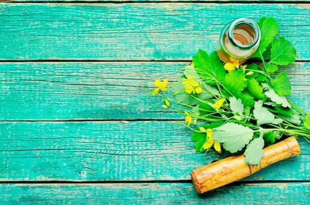 Extrato ou tintura de uma planta celidônia. plantas curativas.
