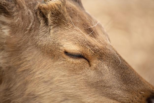 Extremamente close-up de um cervo com o olho ligeiramente fechado