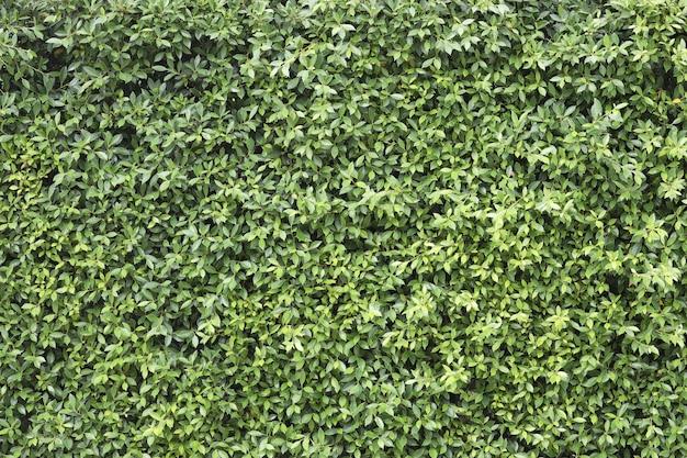 Exuberante, árvore banyan, folhas, textura