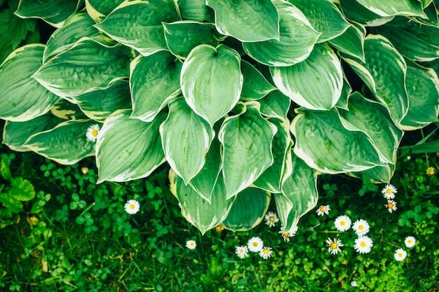 Exuberante folhas verdes textura, folhagem vibrante botânica e margaridas na grama