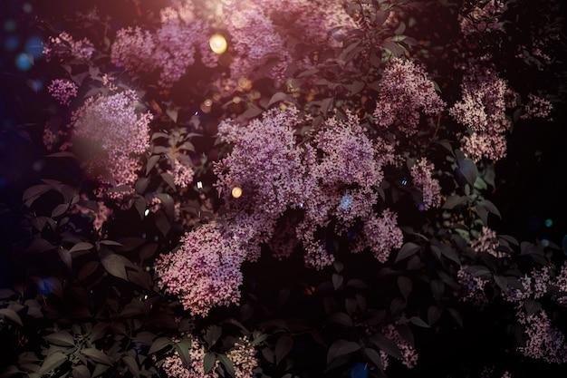 Exuberantes arbustos de lilases. flores da primavera em um dia ensolarado, fundo botânico floral silenciado