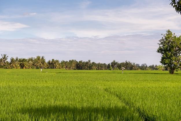 Exuberantes campos de arroz tropical no verão