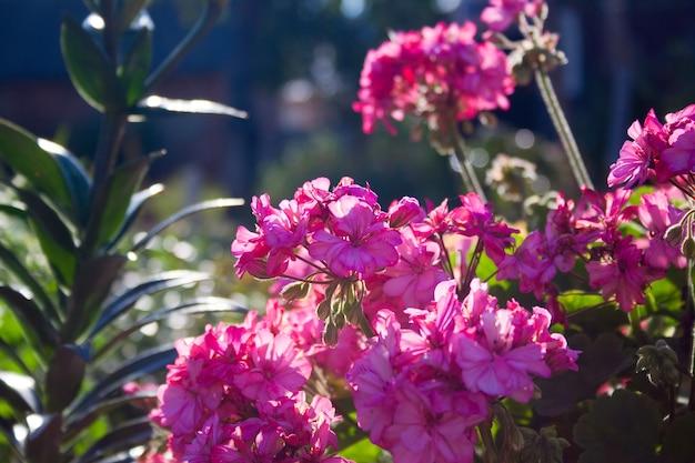 Exuberantes inflorescências de pelargônio rosa em arbustos no jardim. pelargonium graveolens, gerânio malvarosa