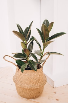Fábrica de borracha. planta em casa em um branco. planta em casa elegante. planta em casa tropical.