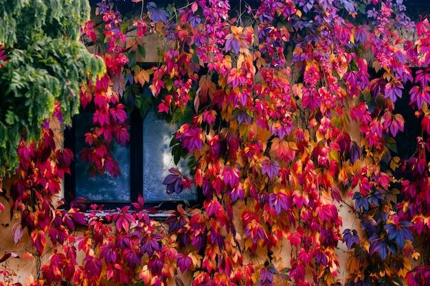 Fabulosa casa acolhedora parede coberta com hera colorida