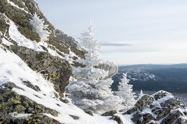 Fabulosos pinheiros brancos cobertos de neve fofa crescendo em pedras coloridas em uma montanha, em uma perspectiva de montanha.