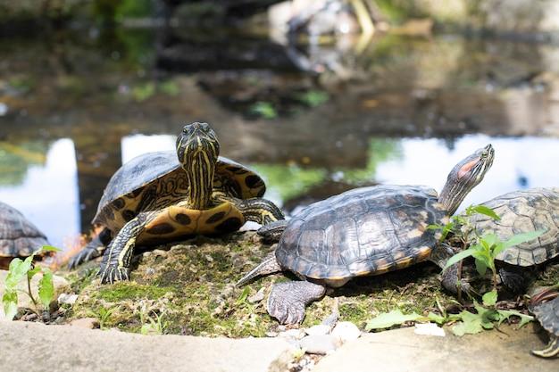 Face e perfil das tartarugas descansando à beira do lago. animais. fauna