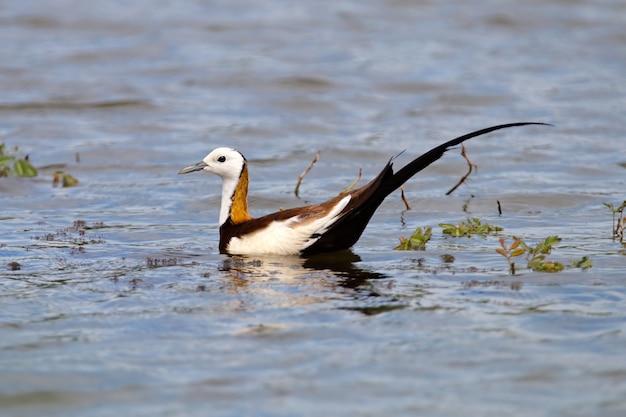 Faisão-de-cauda-jacana hydrophasianus chirurgus belo macho aves da tailândia