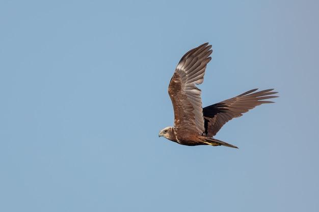 Falcão-de-cauda-vermelha voando sob um céu azul claro