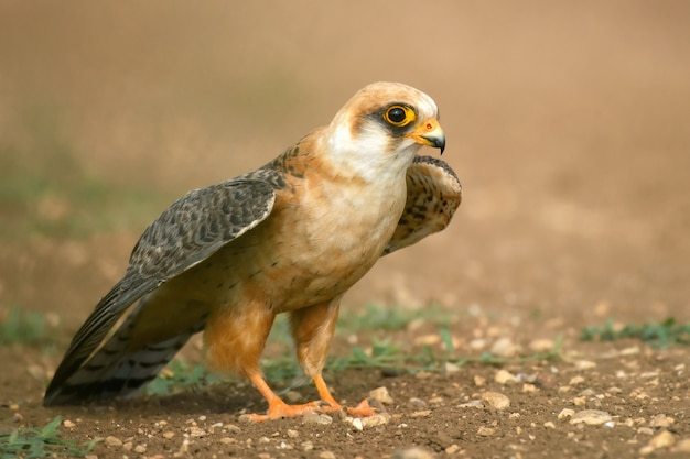 Falcão-de-patas-vermelhas está no chão e abre as asas, pronto para voar