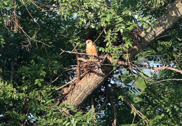Falcão-de-pés-vermelhos fêmea sentado no ninho