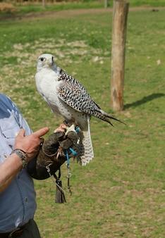 Falcão descansando no braço do falcoeiro