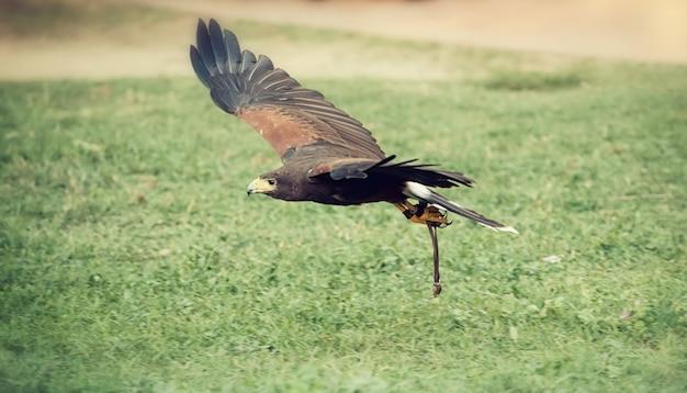 Falcão em voo