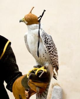 Falcão falcão rapacious pássaro na mão de luva