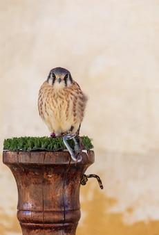 Falcão macho adulto
