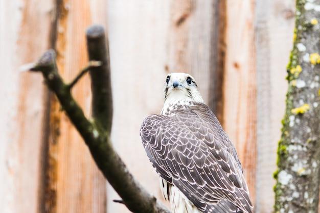 Falcão saker, (falco, cherrug), bavaria, alemanha, europa