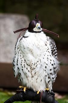 Falcon em uma reserva natural, sutherland, escócia