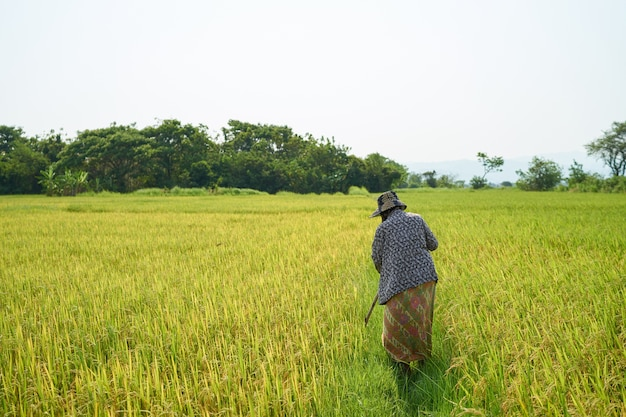 Fama asiática andando no campo de arroz