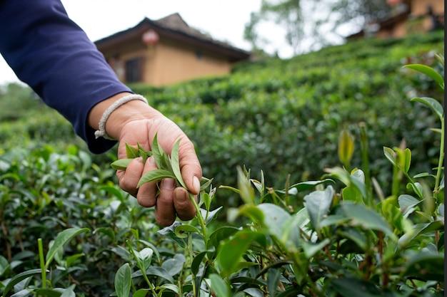 Famer mantém chá em mae hong son tea plantation