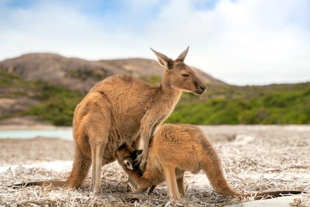 Família canguru em lucky bay, no parque nacional cape le grand, perto de esperance