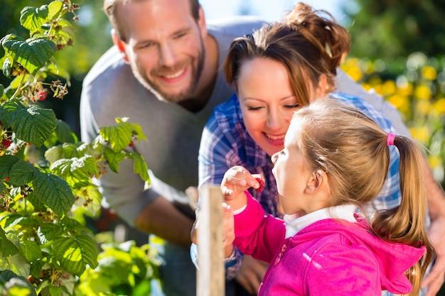 Família colhendo bagas no jardim