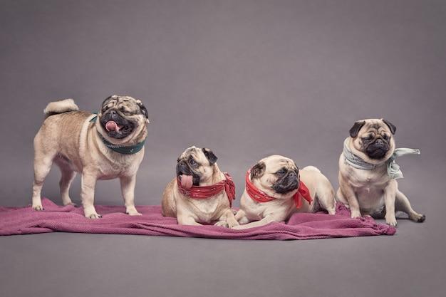 Família de 4 cães de raça pura pug.