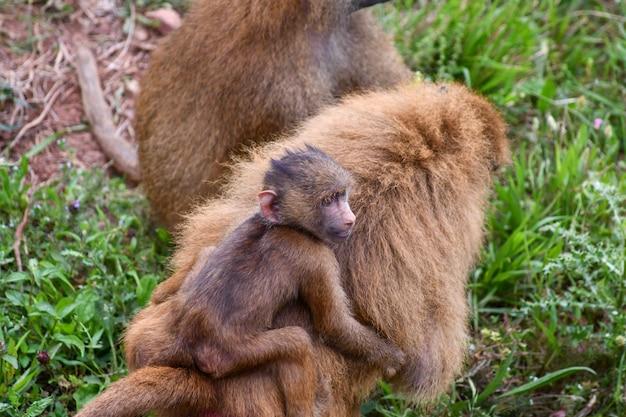 Família de babuínos da guiné em ambiente natural