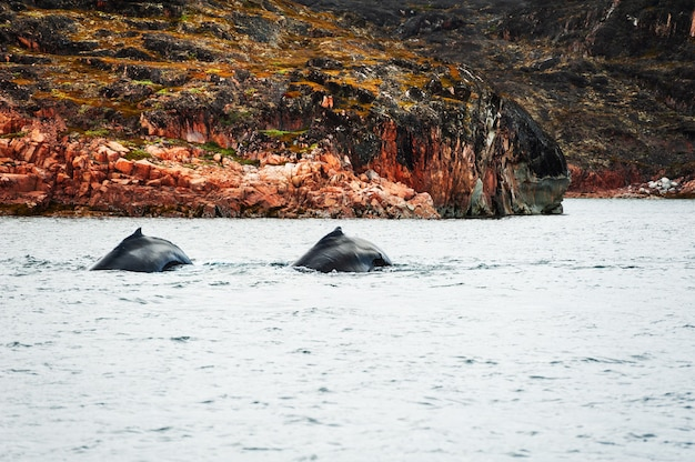 Família de baleias jubarte no oceano atlântico, costa oeste da groenlândia