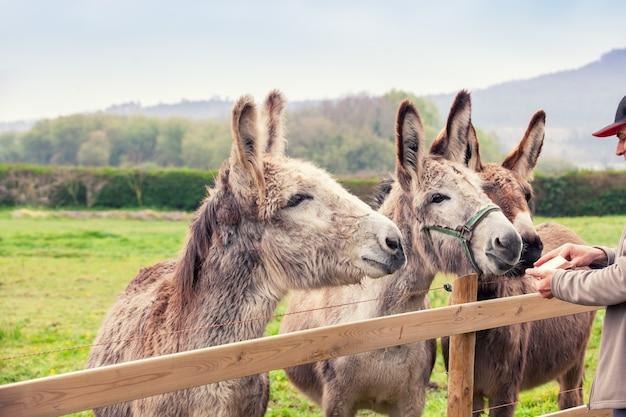 Família de burros ao ar livre no pasto na primavera. o humano alimentando os burros