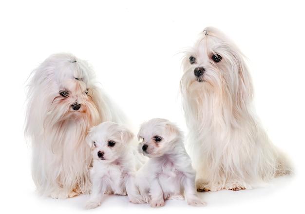 Família de cães maltês