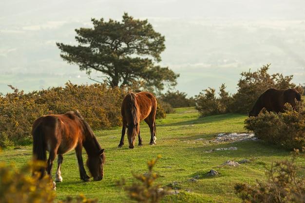 Família de cavalos na montanha enquanto o sol nasce pela manhã na cantábria