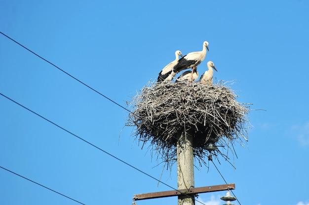 Família de cegonhas sentado em um ninho