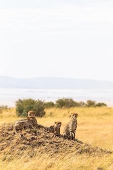 Família de chitas do masai mara quênia, áfrica