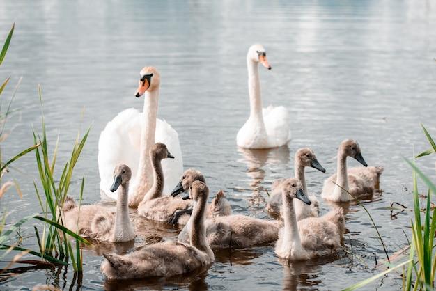 Família de cisne muda, adulto com cisne branco jovem, cygnus olor