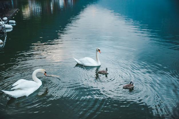 Família de cisnes na água do lago fecha amor e cuidado