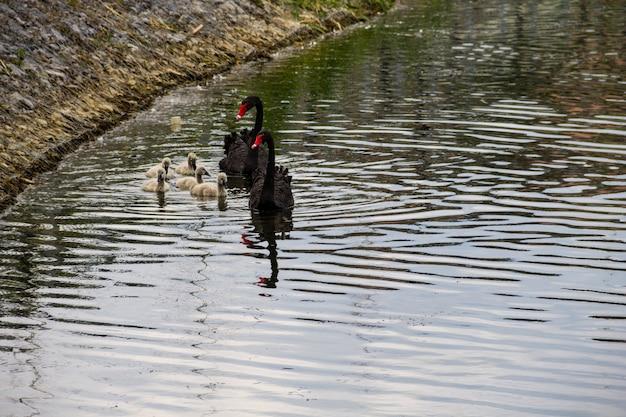 Família de cisnes negros flutuando na superfície do lago