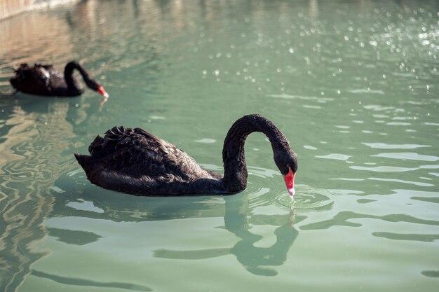 Família de cisnes negros nadando no lago