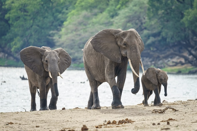 Família de elefantes africanos andando perto do rio com uma floresta no fundo