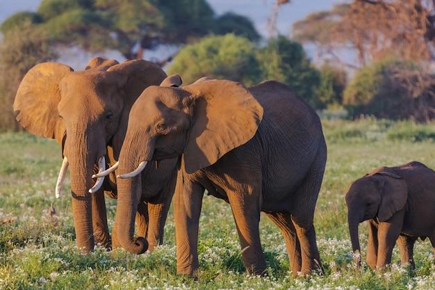 Família de elefantes na savana do quênia, áfrica