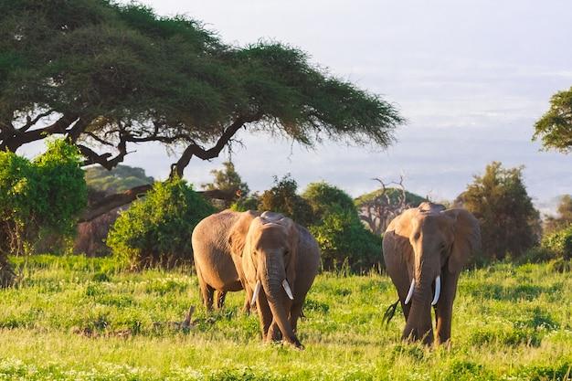 Família de elefantes no amboseli no quênia, áfrica