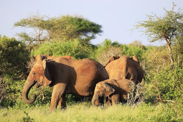 Família de elefantes no parque nacional tsavo east, quênia, áfrica