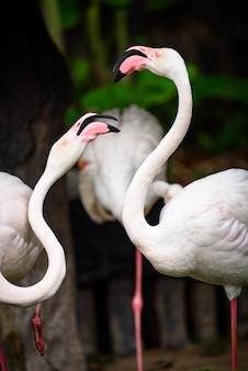 Família de flamingo branco vivendo na natureza