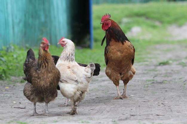 Família de galinhas em uma fazenda