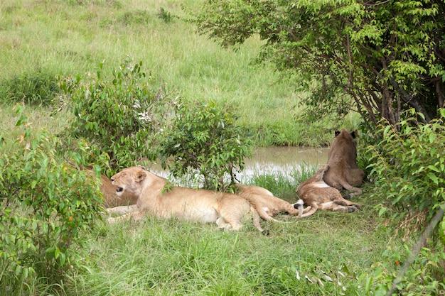 Família de leão repousa sobre uma colina debaixo da árvore