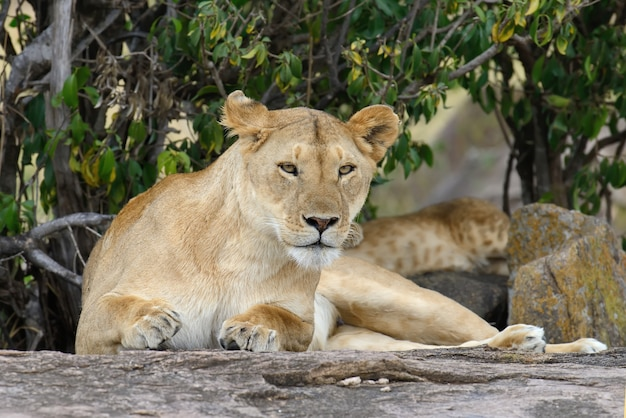 Família de leões na savana