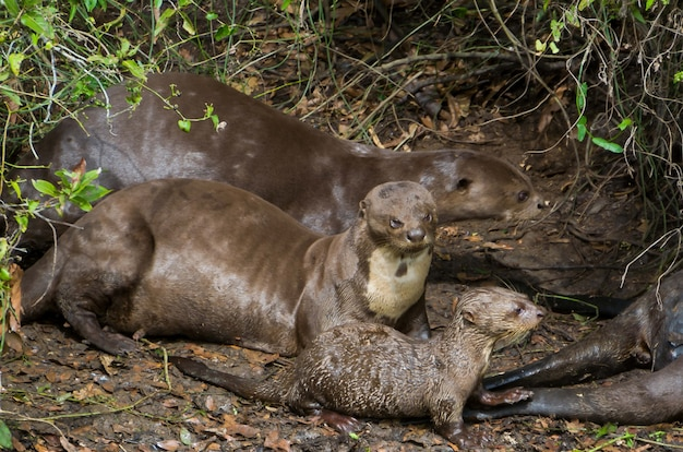 Família de lontras no pantanal brasileiro